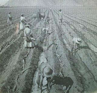 Planting Sugar Cane Near Lima, Peru, Vintage Magic Lantern Glass Slide