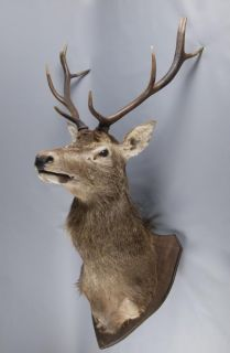 Large Red Deer Stags Head Taxidermy Stuffed Mounted Stag
