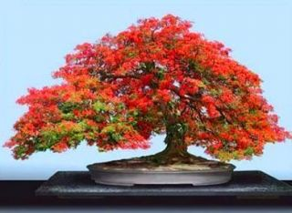 Flamboyant Tropical Bonsai tree seedlings Royal Poinciana Rare