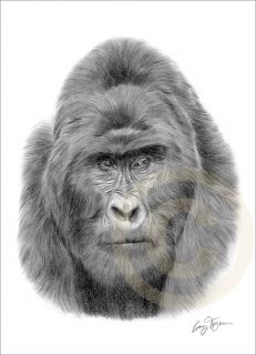 MOUNTAIN GORILLA Art Pencil Drawing Print A4 signed Ltd Edition art