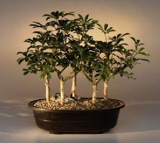 Bonsai Boys Hawaiian Umbrella Bonsai Tree Five Tree Forest Group